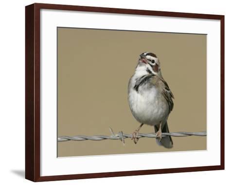 Lark Sparrow Singing, Chondestes Grammacus, Texas, USA-Arthur Morris-Framed Art Print