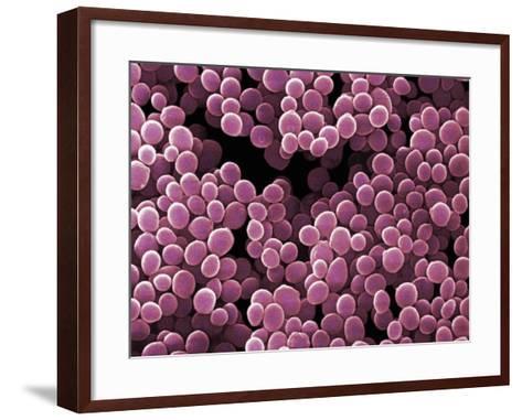 Micrococcus Bacteria-David Phillips-Framed Art Print