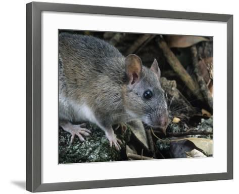 Key Largo Wood Rat or Packrat (Neotoma Floridana Smalli), an Endangered Species, Florida, USA-Rob & Ann Simpson-Framed Art Print