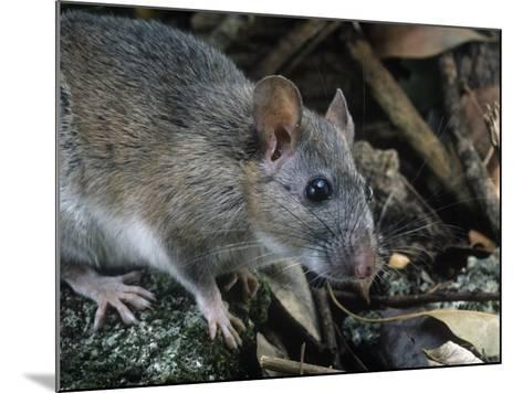 Key Largo Wood Rat or Packrat (Neotoma Floridana Smalli), an Endangered Species, Florida, USA-Rob & Ann Simpson-Mounted Photographic Print