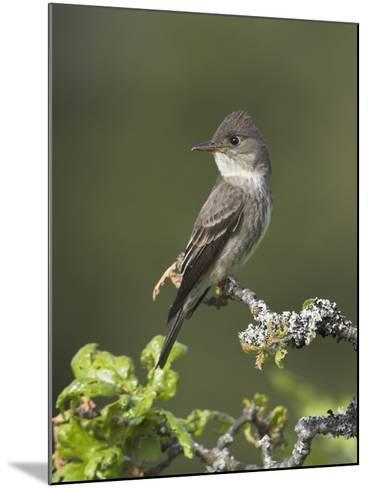 Olive-Sided Flycatcher (Contopus Cooperi) Perched on a Branch, Victoria, British Columbia, Canada-Glenn Bartley-Mounted Photographic Print