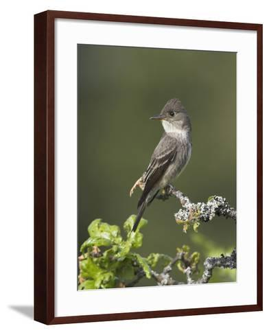 Olive-Sided Flycatcher (Contopus Cooperi) Perched on a Branch, Victoria, British Columbia, Canada-Glenn Bartley-Framed Art Print