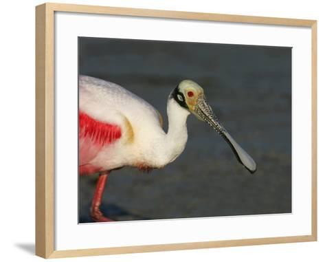 Roseate Spoonbill, Ajaia Ajaja, Florida, USA-Arthur Morris-Framed Art Print