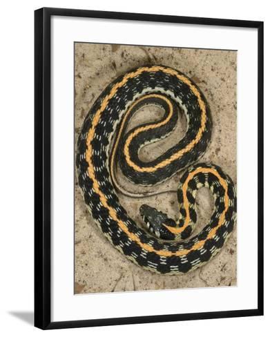Black-Necked Gartersnake, , Thamnophis Siirtalis Occellata, Young Speciman, USA-Jim Merli-Framed Art Print
