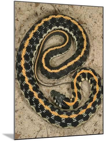 Black-Necked Gartersnake, , Thamnophis Siirtalis Occellata, Young Speciman, USA-Jim Merli-Mounted Photographic Print