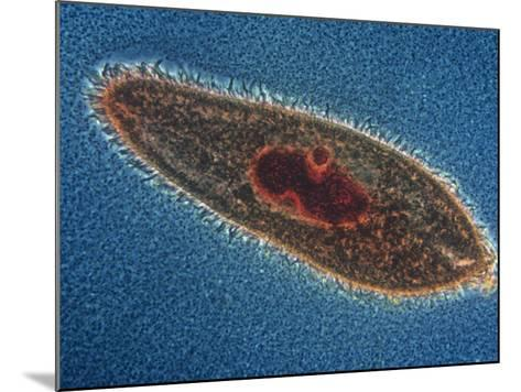 Paramecium Caudatum Ciliate Protozoa with a Stained Nucleus, LM X150-Michael Abbey-Mounted Photographic Print