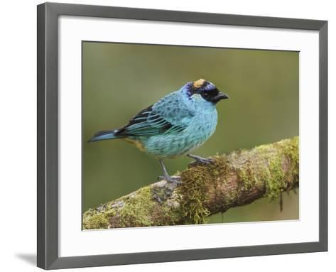 Golden-Naped Tanager (Tangara Ruficervix) Perched on a Branch at the Mindo Loma Reserve, Ecuador-Glenn Bartley-Framed Art Print