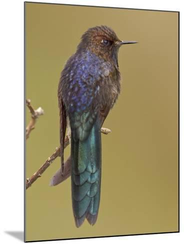 Blue-Mantled Thornbill (Chalcostigma Stanleyi) Perched on a Branch in Cajas National Park-Glenn Bartley-Mounted Photographic Print