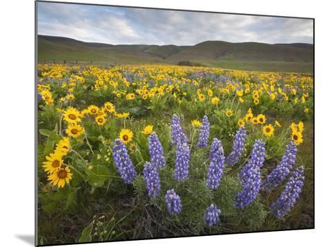 Balsamroot and Lupine Flowers, Columbia Hills, Washington, USA-Sean Bagshaw-Mounted Photographic Print