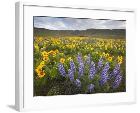 Balsamroot and Lupine Flowers, Columbia Hills, Washington, USA-Sean Bagshaw-Framed Art Print