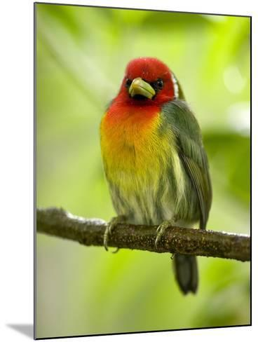 Red-Headed Barbet (Eubucco Bourcierii), Costa Rica-Gregory Basco-Mounted Photographic Print