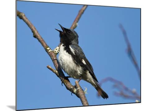 Two-Year Old Male Black-Throated Blue Warbler (Dendroica Caerulescens), New Hampshire, USA-John Abbott-Mounted Photographic Print