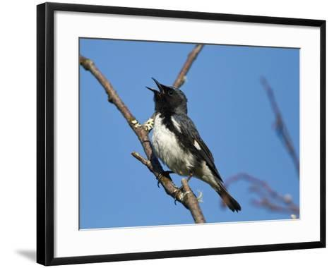 Two-Year Old Male Black-Throated Blue Warbler (Dendroica Caerulescens), New Hampshire, USA-John Abbott-Framed Art Print
