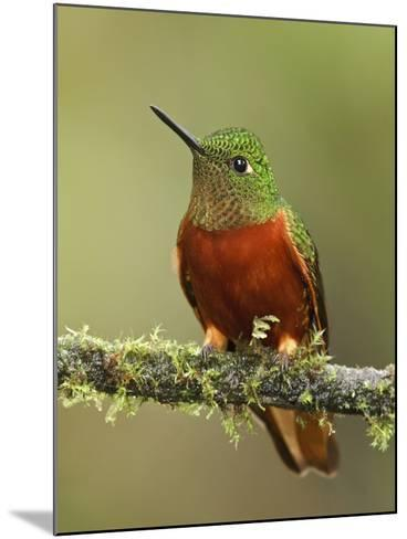 Chestnut-Breasted Coronet (Boissonneaua Matthewsii) Perched on a Branch, Tapichalaca Reserve-Glenn Bartley-Mounted Photographic Print
