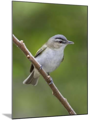 Red-Eyed Vireo (Vireo Olivaceus) Perched on a Branch, Ontario, Canada-Glenn Bartley-Mounted Photographic Print