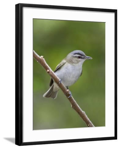 Red-Eyed Vireo (Vireo Olivaceus) Perched on a Branch, Ontario, Canada-Glenn Bartley-Framed Art Print