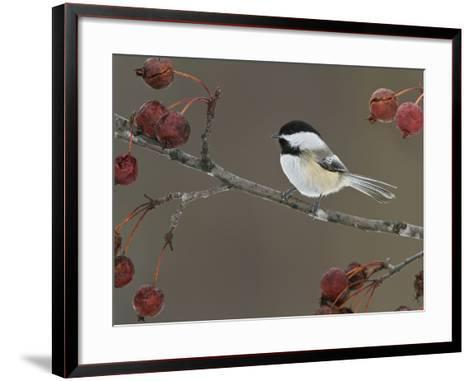 Black-Capped Chickadee (Poecile Atricapillus) Perched on a Branch, Ottawa, Ontario, Canada-Glenn Bartley-Framed Art Print