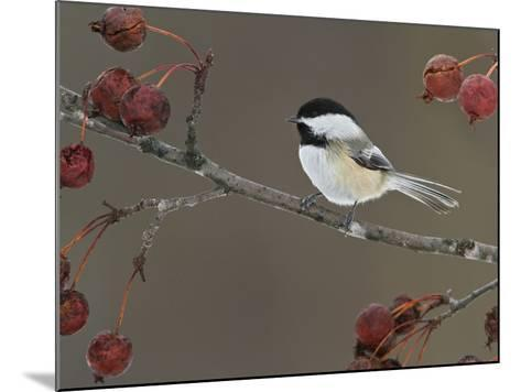 Black-Capped Chickadee (Poecile Atricapillus) Perched on a Branch, Ottawa, Ontario, Canada-Glenn Bartley-Mounted Photographic Print
