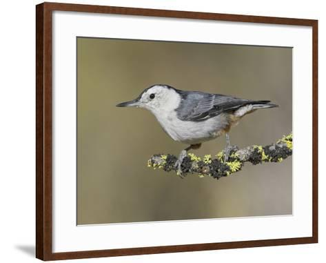 White-Breasted Nuthatch (Sitta Carolinensis) Perched on a Branch in Oregon, USA-Glenn Bartley-Framed Art Print