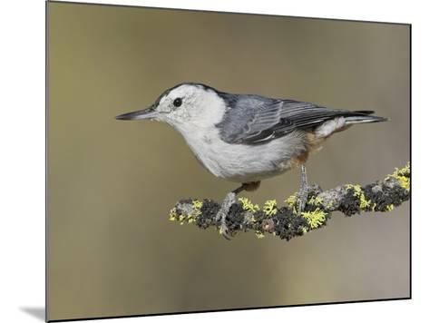 White-Breasted Nuthatch (Sitta Carolinensis) Perched on a Branch in Oregon, USA-Glenn Bartley-Mounted Photographic Print