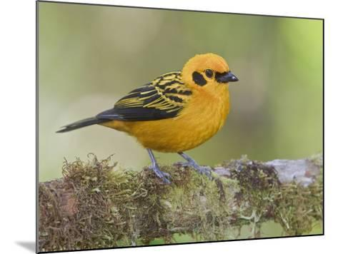 Golden Tanager (Tangara Arthus) Perched on a Branch at the Mindo Loma Reserve, Ecuador-Glenn Bartley-Mounted Photographic Print