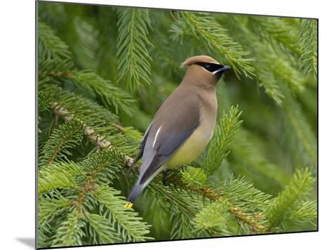 Cedar Waxwing (Bombycilla Cedrorum), Pennsylvania, USA-John Abbott-Mounted Photographic Print