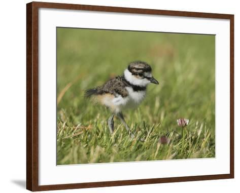 Killdeer Chick (Charadrius Vociferus) in the Grass in Victoria, British Columbia, Canada-Glenn Bartley-Framed Art Print