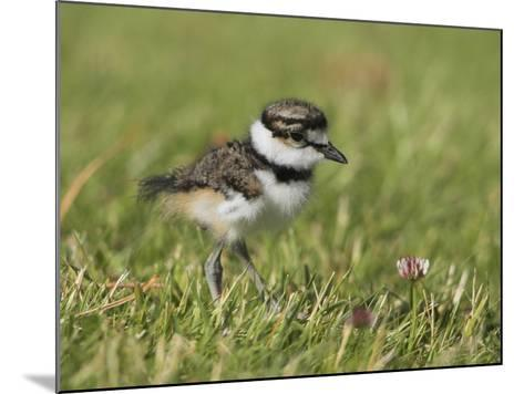 Killdeer Chick (Charadrius Vociferus) in the Grass in Victoria, British Columbia, Canada-Glenn Bartley-Mounted Photographic Print