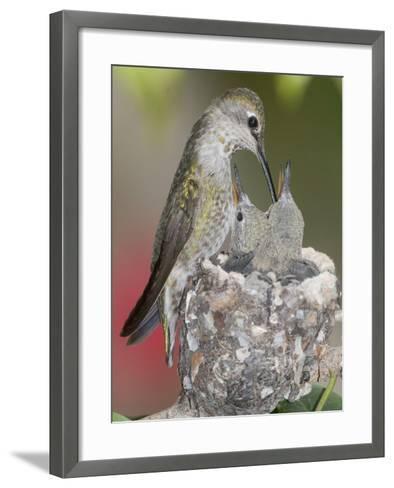 Female Anna's Hummingbird (Calypte Anna) Feeding Her Chicks in their Tiny Nest, Irvine-Hal Beral-Framed Art Print