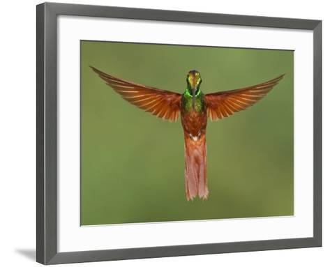 Rainbow Starfrontlet (Coeligena Iris) Hovering Near a Flower, Utuana Reserve, Ecuador-Glenn Bartley-Framed Art Print