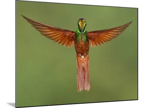 Rainbow Starfrontlet (Coeligena Iris) Hovering Near a Flower, Utuana Reserve, Ecuador-Glenn Bartley-Mounted Photographic Print