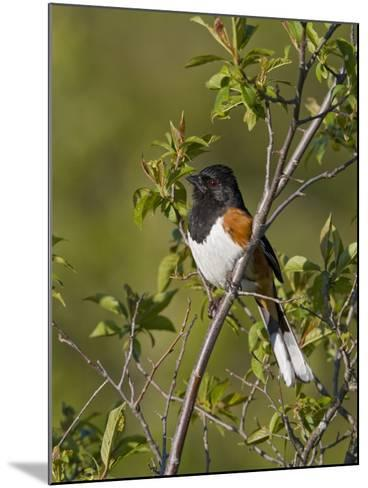 Eastern Towhee (Pipilo Erythrophthalmus) on a Branch in Ontario, Canada-Glenn Bartley-Mounted Photographic Print