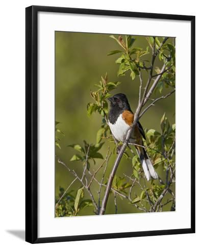Eastern Towhee (Pipilo Erythrophthalmus) on a Branch in Ontario, Canada-Glenn Bartley-Framed Art Print