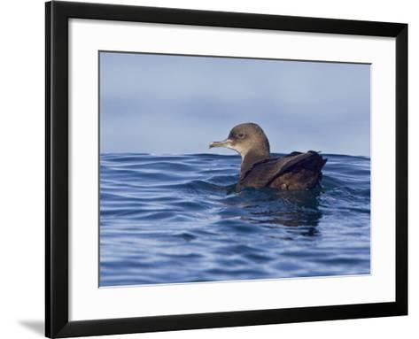 Sooty Shearwater (Puffinus Griseus) Swimming on the Ocean Near Victoria, British Columbia, Canada-Glenn Bartley-Framed Art Print