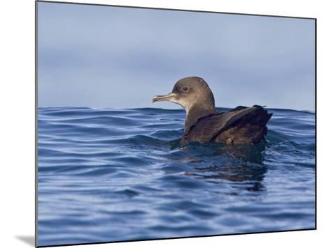 Sooty Shearwater (Puffinus Griseus) Swimming on the Ocean Near Victoria, British Columbia, Canada-Glenn Bartley-Mounted Photographic Print