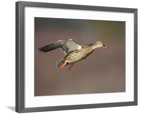 Mallard Duck (Anas Platyrhynchos) Flying-Glenn Bartley-Framed Art Print