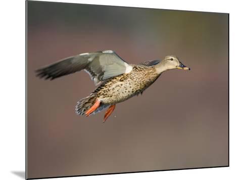 Mallard Duck (Anas Platyrhynchos) Flying-Glenn Bartley-Mounted Photographic Print