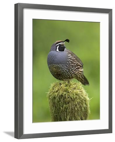 California Quail (Callipepla Californica) Perched on a Mossy Tree Stump in Victoria-Glenn Bartley-Framed Art Print