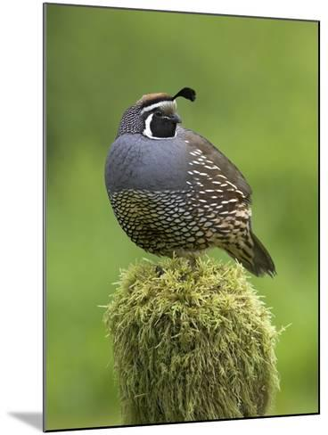 California Quail (Callipepla Californica) Perched on a Mossy Tree Stump in Victoria-Glenn Bartley-Mounted Photographic Print