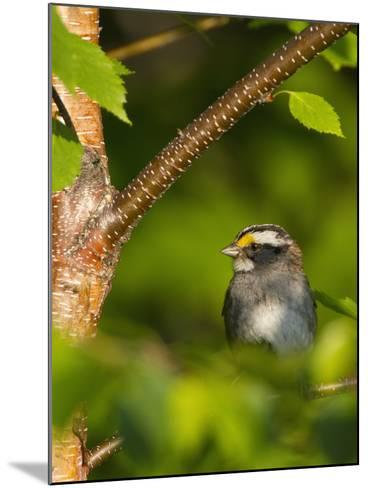 Male White-Throated Sparrow (Zonotrichia Albicollis), New Hampshire, USA-John Abbott-Mounted Photographic Print