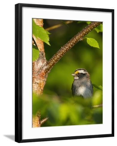 Male White-Throated Sparrow (Zonotrichia Albicollis), New Hampshire, USA-John Abbott-Framed Art Print