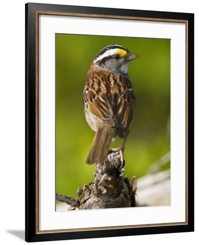 Male White-Throated Sparrow (Zonotrichia Albicollis), New Hampshire, USA-John Abbott-Framed Art Print