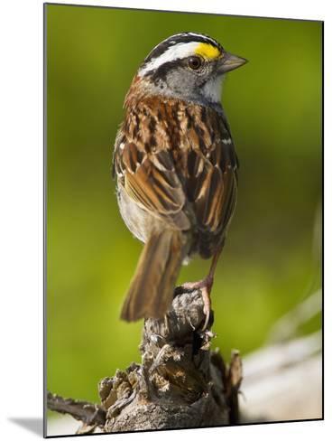 Male White-Throated Sparrow (Zonotrichia Albicollis), New Hampshire, USA-John Abbott-Mounted Photographic Print