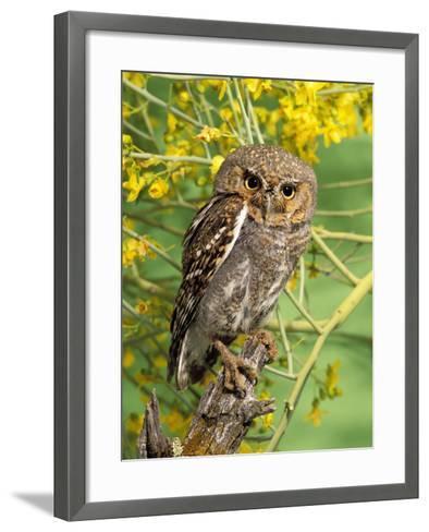 Elf Owl, (Micrathene Whitneyi) Tortalita Mtns, Tucson, Arizona, USA, Captive-Rick & Nora Bowers-Framed Art Print