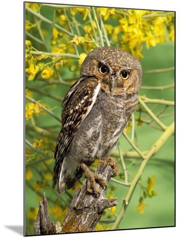 Elf Owl, (Micrathene Whitneyi) Tortalita Mtns, Tucson, Arizona, USA, Captive-Rick & Nora Bowers-Mounted Photographic Print
