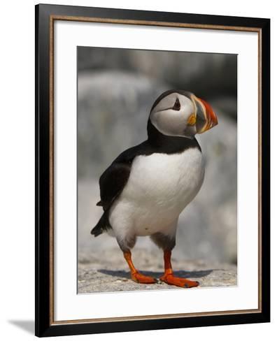 Atlantic Puffin (Fratercula Arctica), Maine, USA-John Abbott-Framed Art Print