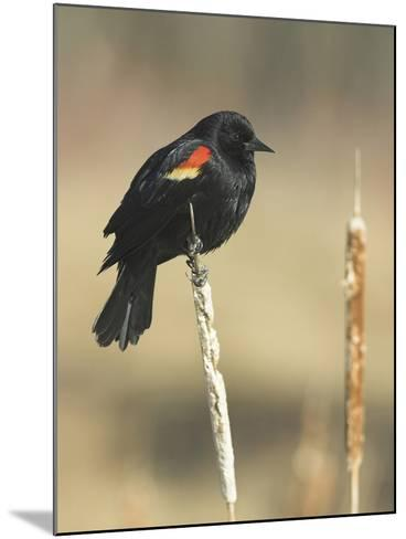Red Winged Blackbird, North America-Glenn Bartley-Mounted Photographic Print