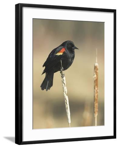 Red Winged Blackbird, North America-Glenn Bartley-Framed Art Print