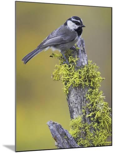 Mountain Chickadee (Poecile Gambeli) Perched on a Branch, Oregon, USA-Glenn Bartley-Mounted Photographic Print