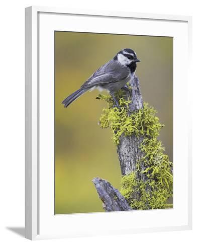 Mountain Chickadee (Poecile Gambeli) Perched on a Branch, Oregon, USA-Glenn Bartley-Framed Art Print